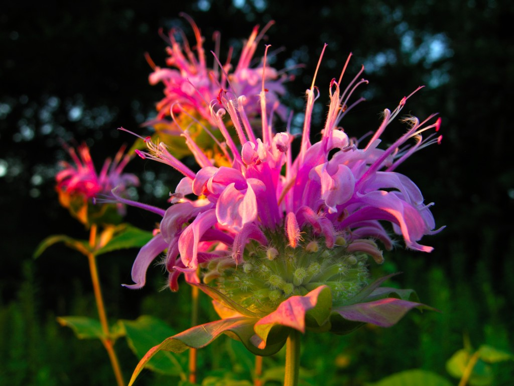Native bee balm